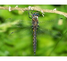A male Common Baskettail dragonfly. Photographic Print