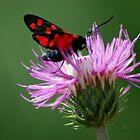 Little red moth by loiteke