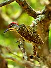 Golden tailed woodpecker by Dan MacKenzie