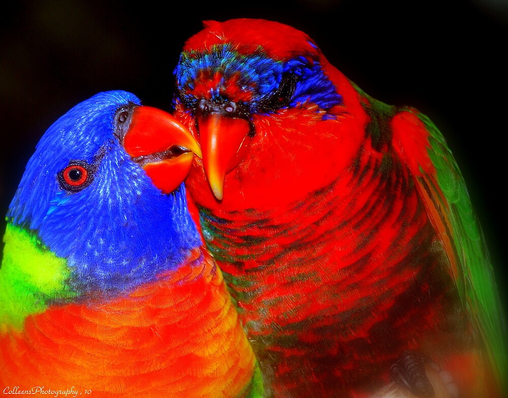 LORIKEET LOVE by Colleen Rohrbaugh