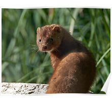 A Mink Intrudes, Or is it the Other Way Round Poster