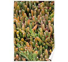 Plump Cacti Poster