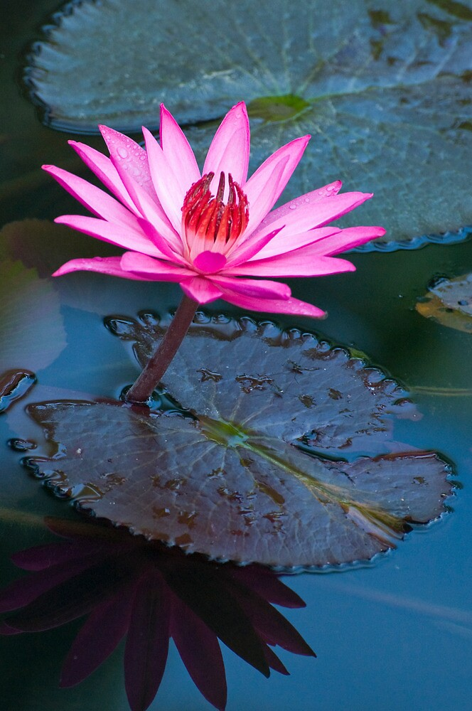 Reflections - pink waterlilly  by Jenny Dean