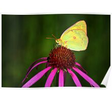 Common Sulphur Butterfly Poster