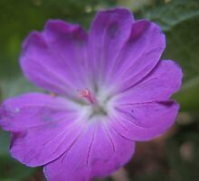 Lone Purple Ranger Flower by MarianBendeth
