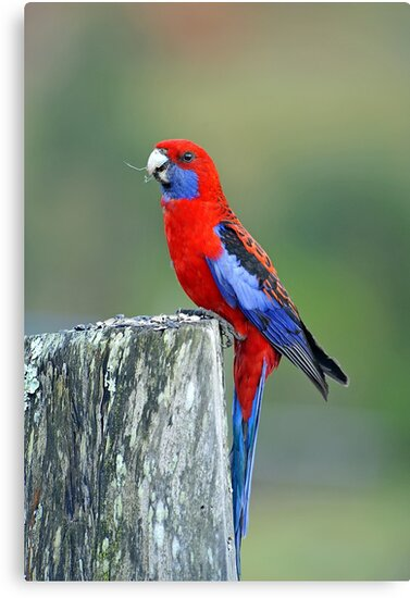 Crimson Rosella. Cedar Creek, Brisbane, Queensland, Australia. by Ralph de Zilva