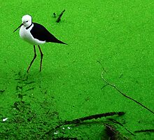 Black winged stilt by Gwynne Brennan