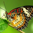 The Lacewing Butterfly by John Morrison