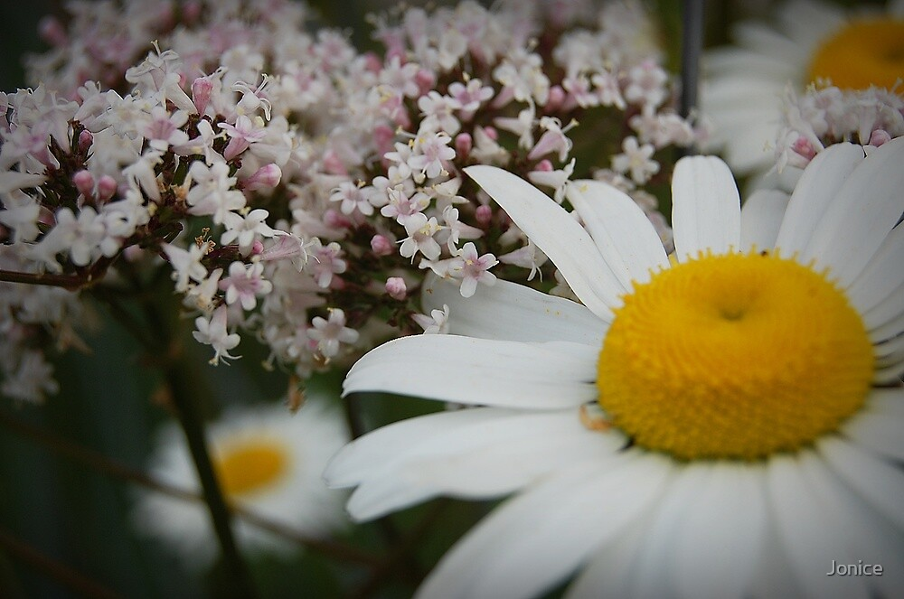 Daisies And Verbena by Jonice