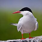 Arctic Tern - Sterna paradisaea by David Lewins LRPS
