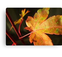 Another Japanese Maple Leaf... Canvas Print