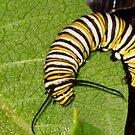 Monarch Caterpillar by Rebecca Bryson