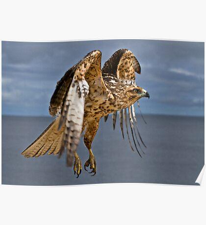 Galapagos Hawk Poster