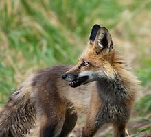 Momma Fox with a Vole by Jay Ryser