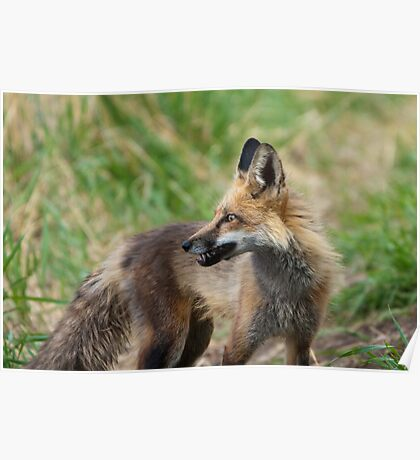 Momma Fox with a Vole Poster