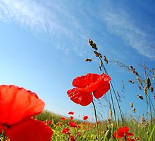 Poppies. by Tony Reed