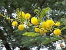 The Acacia's pom-poms by Maree  Clarkson