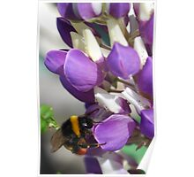 Bee on Blue Lupin Poster