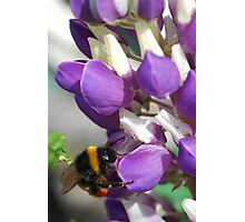 Bee on Blue Lupin Photographic Print