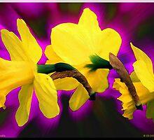 3 Zooming Daffodils by Robert Breisch