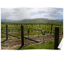 Vineyard Landscape, Marlborough Poster