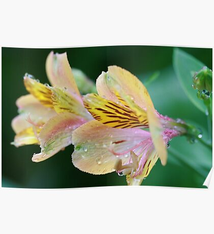 Peruvian Lily  Poster