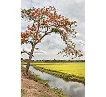 Green paddy field and Krishnachura tree at India Photographic Print