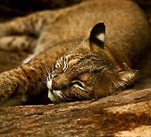 Sleeping bobcat by LArifleMAN