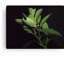 Bitten & Drenched Canvas Print