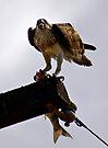 Osprey ~ Greenough River ~ Cape Burney by Pene Stevens