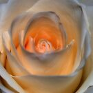 Peachy White Rose by Stormygirl