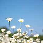Just Wild Daisies by FelicityB