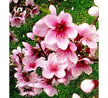 Blossom of my Nectarine Tree - Spring 2009 Photographic Print