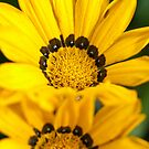 African Daisy by SusanAdey