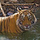 Bengal Tiger (Panthera tigris) by Konstantinos Arvanitopoulos