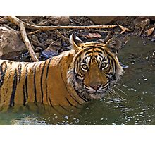 Bengal Tiger (Panthera tigris) Photographic Print