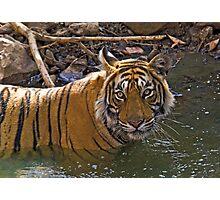 Bengal Tiger (Panthera tigris) Photographic Print