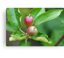 The little apple tree Canvas Print