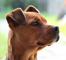 """Pound Puppy"" (ridgeback/mastiff cross) by Sophie Lapsley"