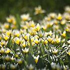 Parvitulppaani (Tulipa tarda)  by Chrisseee