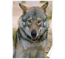 Alaskin Timber Wolf Poster