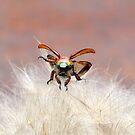 Christmas Beetle Macro  by helmutk