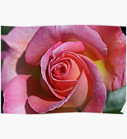 Rosy Rose Poster