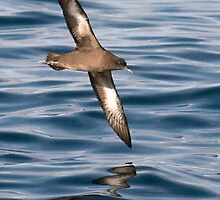 sooty shearwater (Puffinus griseus) by Grandalf