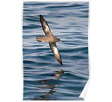 sooty shearwater (Puffinus griseus) Poster