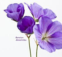 Geranium, Johnson's blue by inkedsandra
