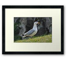 Herring Gull - Tintagel Cornwall Framed Print