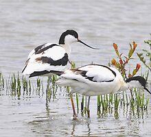 avocet (Recurvirostra avosetta) by Grandalf