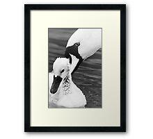 A Mother Swan Nudges Her Chick Framed Print