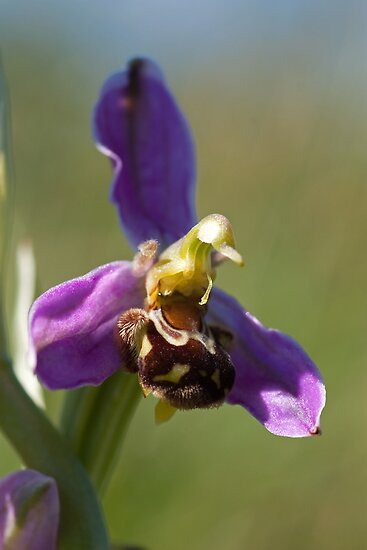Bee Orchid by Jon Lees